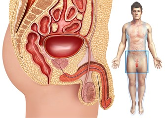 Male urinary and reproductive systems, illustration