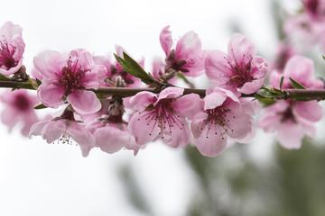 Delicate pink peach flowers. Flowering of fruit trees.