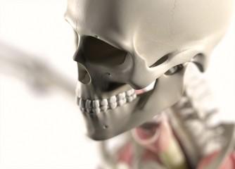 Anatomy body human. Skull, head and jaw. Skeletal system. 3d illustration.