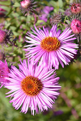 Flowering asters Austrian summer, top view. Selective focus