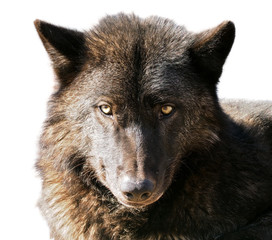 Black wolf head portrait isolated at white