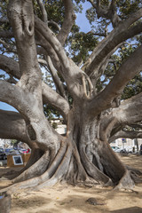 "Giant Rubber Tree ""ficus macrophylla"" aged more than one hundred years near the Beach ""Playa De La Caleta"", Cadiz, Andalusia, Spain"