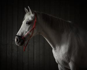 Portret szary koń na ciemnym tle odizolowywającym