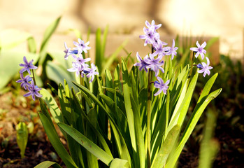 Few violet hyacinths blooming in the garden.