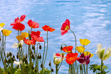 Beautiful poppies on the blue lake