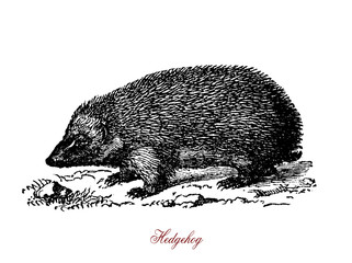 A spiny mammals of the subfamily Erinaceinae. Hedgehogs are omnivorous. They feed on insects, snails, frogs and toads, snakes, bird eggs, carrion, mushrooms, grass roots