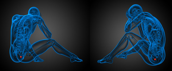 3d rendering illustration of the human prostate