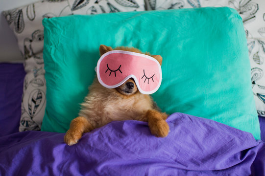 Funny and cute pomeranian puppy dog in a sleep mask is laying on back on pillows under the blankets with the claws protruding out of it