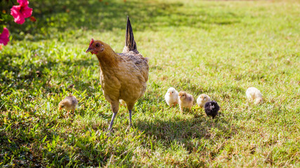 Wild baby chickens with their mother on Kauai, Hawaii.