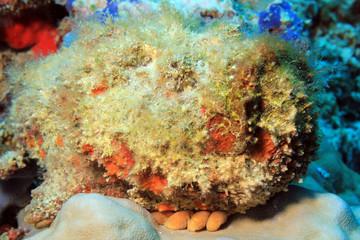 Close-up of a Stonefish (Synanceia Verrucosa), South Ari Atoll, Maldives