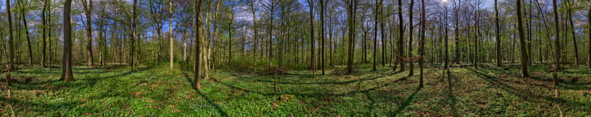 Forest panorama with anemone nemorosa