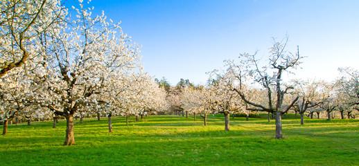 Wall Mural - Kirschbäume im Frühjahr - Cherry trees in spring