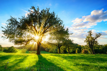 Wall Mural - The sun shining through a tree on a green meadow, a vibrant rural landscape with blue sky before sunset