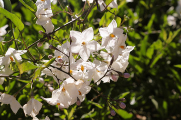 litte white star shaped flowers