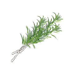 Fresh rosemary vector