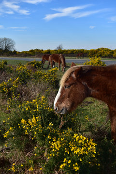New Forest Pony Hampshire England