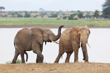 Elephants Shortly Before Mating