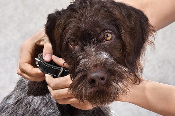 hands putting on collar on the dog, closeup