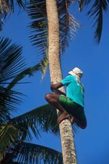 Мужчина лезет на пальму за кокосом.