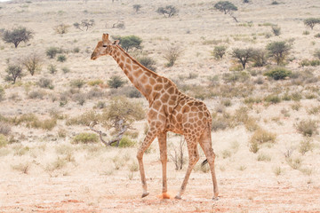 Close up image of a giraffe walking in the wild