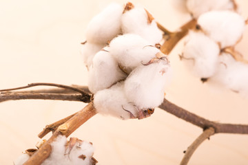 Cotton flowers on a branch