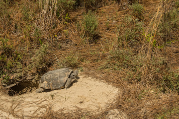 A Gopher Tortoise emerging from it's burrow.