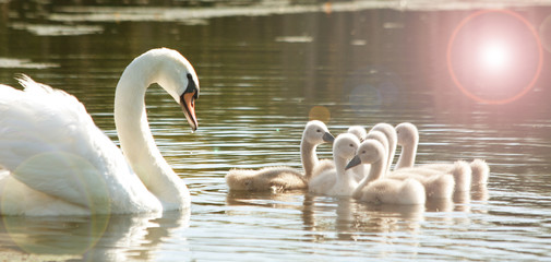 Swan with the young