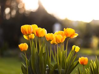 Tulpen fotografiert gegen die untergehende Abendsonne