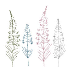 Vector botanical illustration with  fireweed plant flowers. Hand drawn thin lines meadow wild flowers in pink, gray, blue and green, isolated on white background.