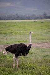 Portrait of male ostrich, Ngorongoro Crater, Tanzania