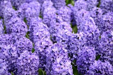 Group of beautiful purple hyacinths