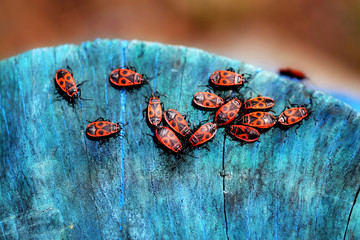 red beetles soldiers