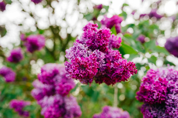 Flowering branch of lilac on bush with abstract green background in summer day