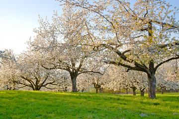 Wall Mural - Kirschbäume im Frühling