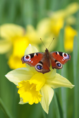 Schmetterling Tagpfauenauge - Aglais Io - sitzt auf Narzisse