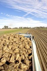 Sugar Beet - Harvest