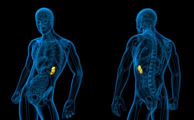 3d rendering medical illustration of the spleen