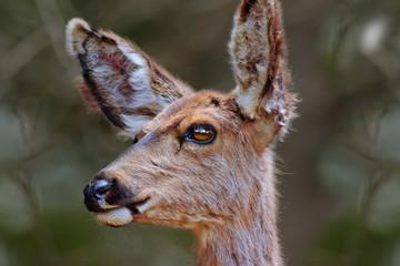 Female Arizona Mule Deer Portrait