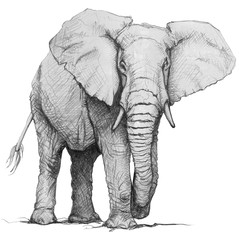 Hand drawn elephant. Pencil illustration