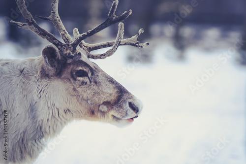 polar deer