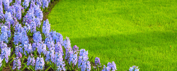 Printed roller blinds Lilac purple, lilac hyacinth flowers blossom and green grass panoramic banner background