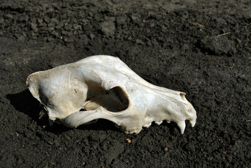 White fox skull lying on the ground (profile view)