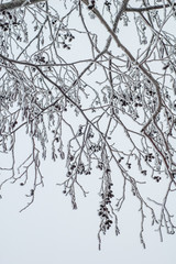 Alder branches covered with frost