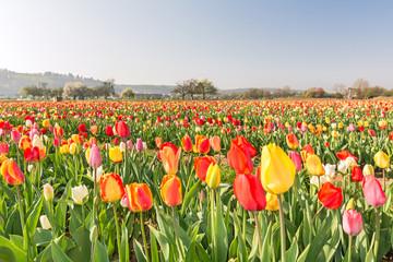 Blumenfeld Tulpen Frühling