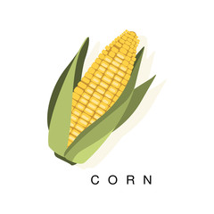 Corn Ear, Infographic Illustration With Realistic Cereal Crop Plant And Its Name