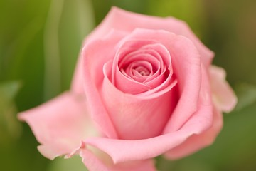Closeup of a single pink rose against green background