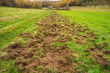 Flurschaden durch Wildschweine auf einer Kuhweide – Field damage caused by wild boars on a cow pasture