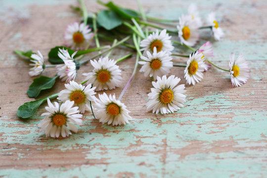 Gänseblümchen - Heilpflanze des Jahres 2017, (Bellis perennis), Heilkraut für die Zubereitung von Tee, essbare Blüten