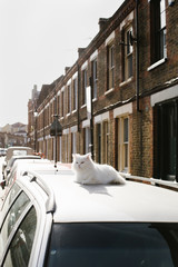 White cat lounging on car