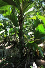 Vanilla in Tropical Forest, Nature Trail Mt. Plaisir, Praslin, Seychelles, Indian Ocean, Africa / Vanilla plants grow in the shadow of tropical palm trees.